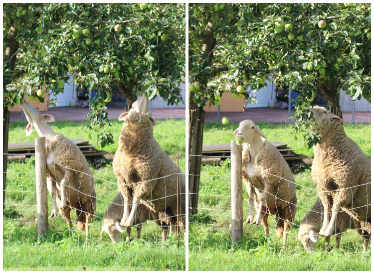 Auch den Schafen schmecken Äpfel gut - man muss nur rankommen ;) Foto: www.jubeltage.at